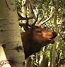 Bill Hunts Bugling Elk in Utah on L.L.Bean Guide to the Outdoors.